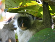 Red colobus monkey i Jozani Forest